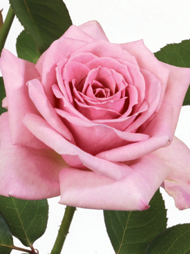 Rose-Pink-SweetMoments-Eufloria
